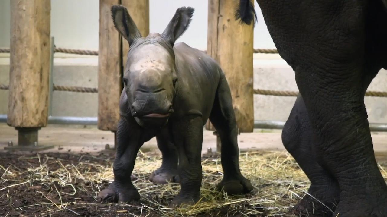 Breedlipneushoorntje geboren in dierentuin Burgers' Zoo