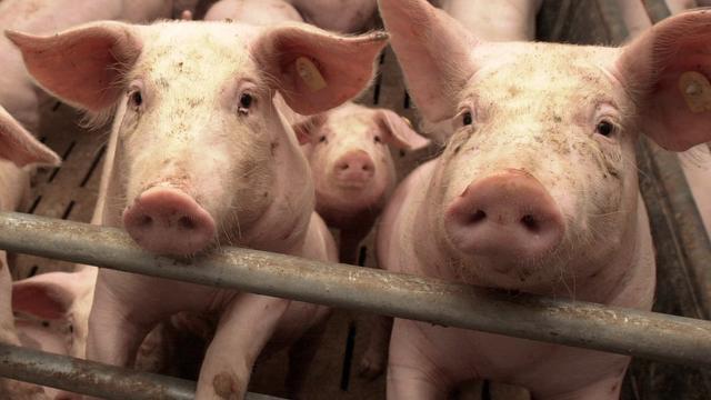 Nederlandse varkenstruck gekanteld in België, helft dieren dood
