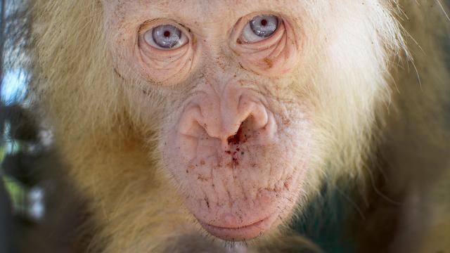 Zeldzame witte orang-oetan vrijgelaten tussen soortgenoten op Borneo