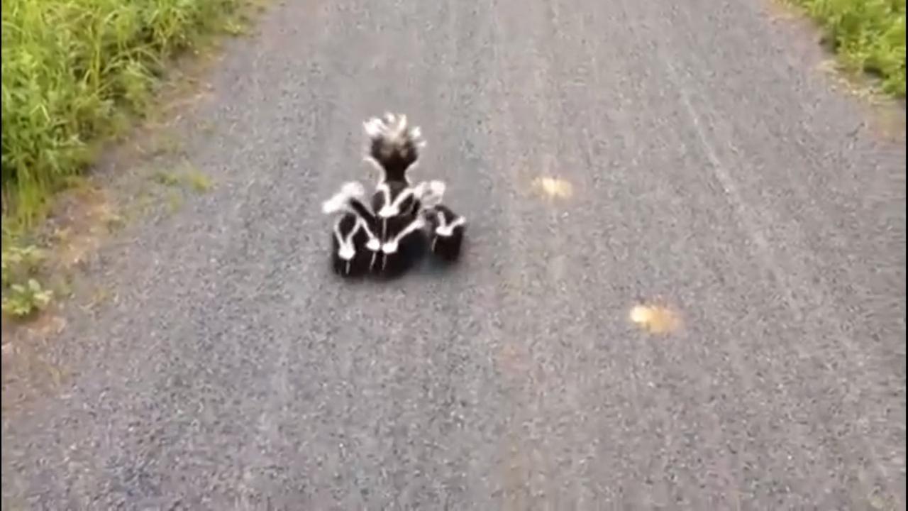 Stinkdierengezinnetje steekt de weg over