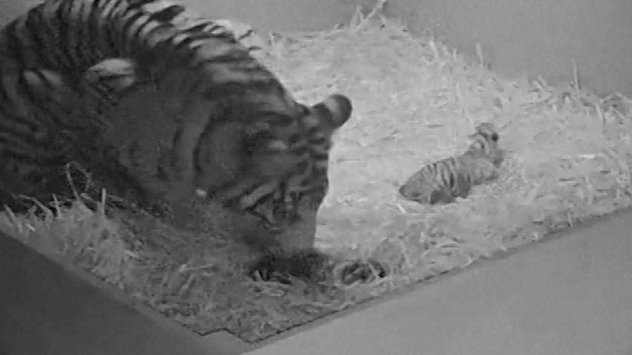 Dierentuin filmt geboorte drie zeldzame tijgerwelpjes in Australië