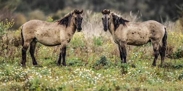 Ongeveer 200 paarden uit Oostvaardersplassen gaan naar de slacht