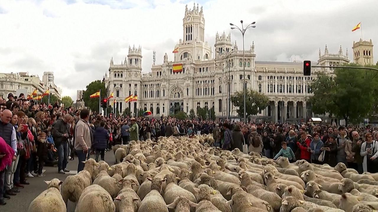 Honderden schapen lopen door centrum Madrid