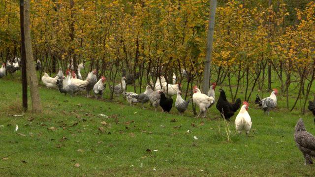Reddingsactie opgezet voor Bredase kip