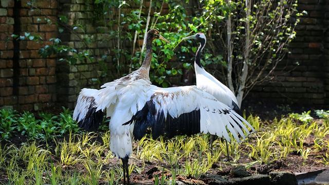 ARTIS opent verblijf voor nieuwe Japanse kraanvogels