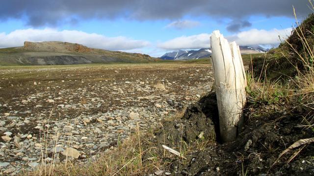 Un colmillo de mamut lanudo sobresale del permafrost siberiano.