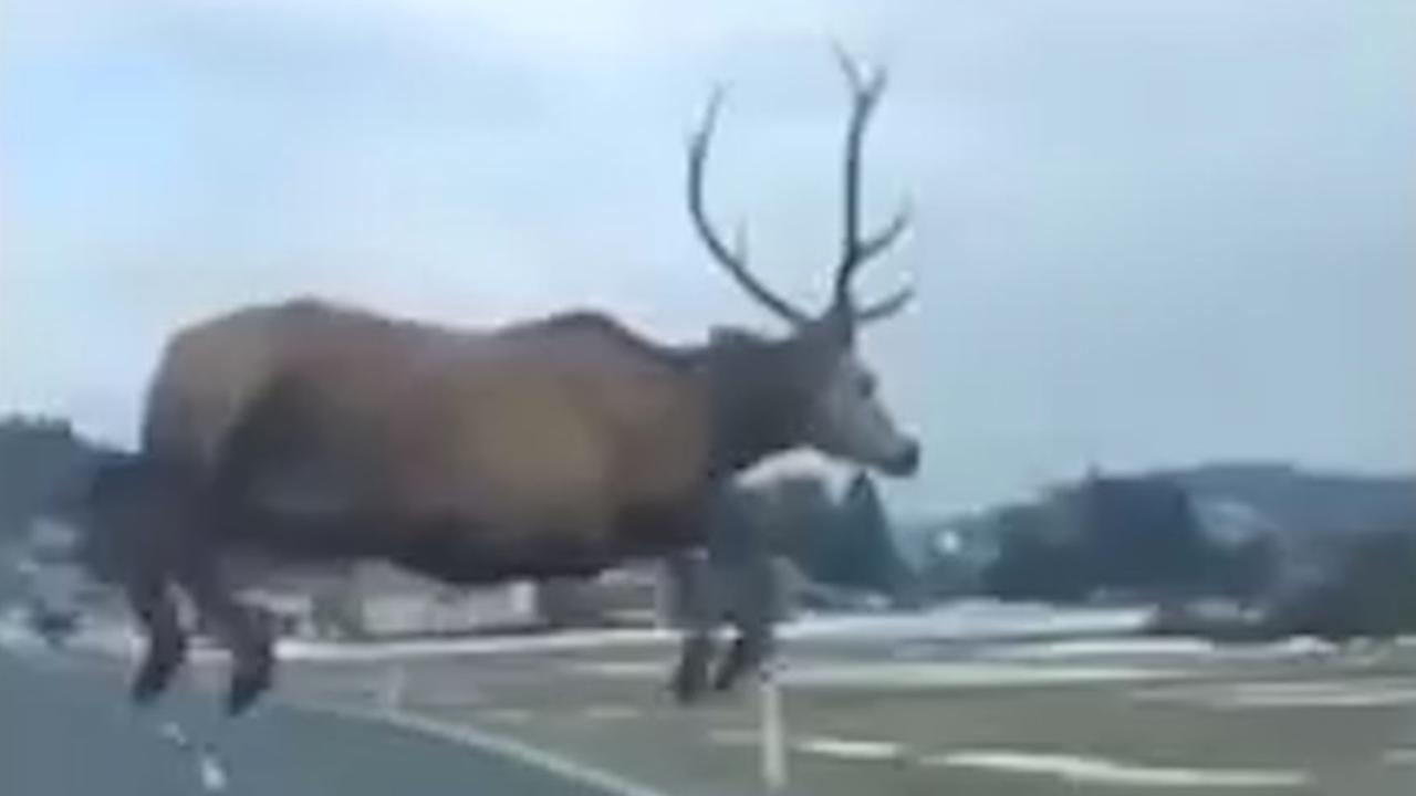 Hert springt vlak voor auto langs in Slowakije