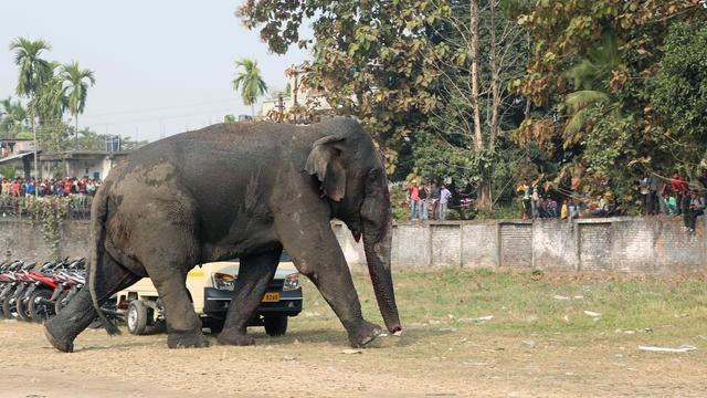 Zeven olifanten geëlektrocuteerd door elektriciteitskabel in India