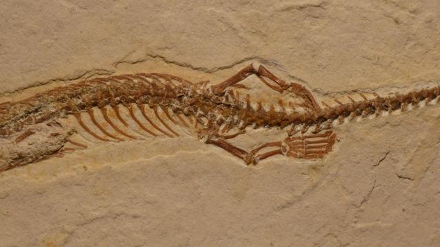 'Fossiel van slang met vier pootjes ontdekt'