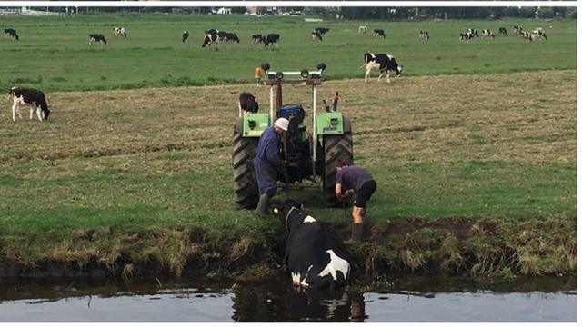 Boer bevrijdt koe uit sloot in Haarlem