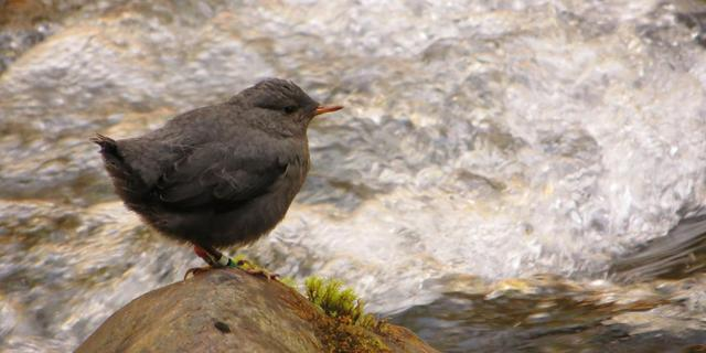 'Stuwdammen in rivieren met zalmen verstoren ecoysteem'