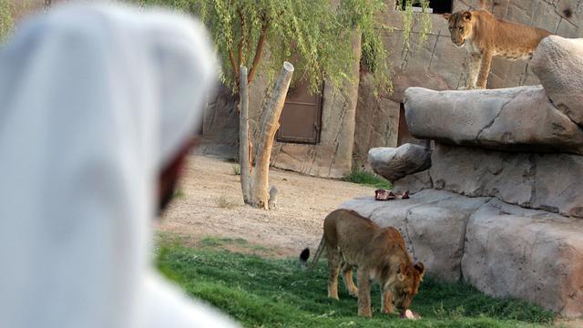 Leeuwen en luipaarden in Dubai en Abu Dhabi verboden als huisdier