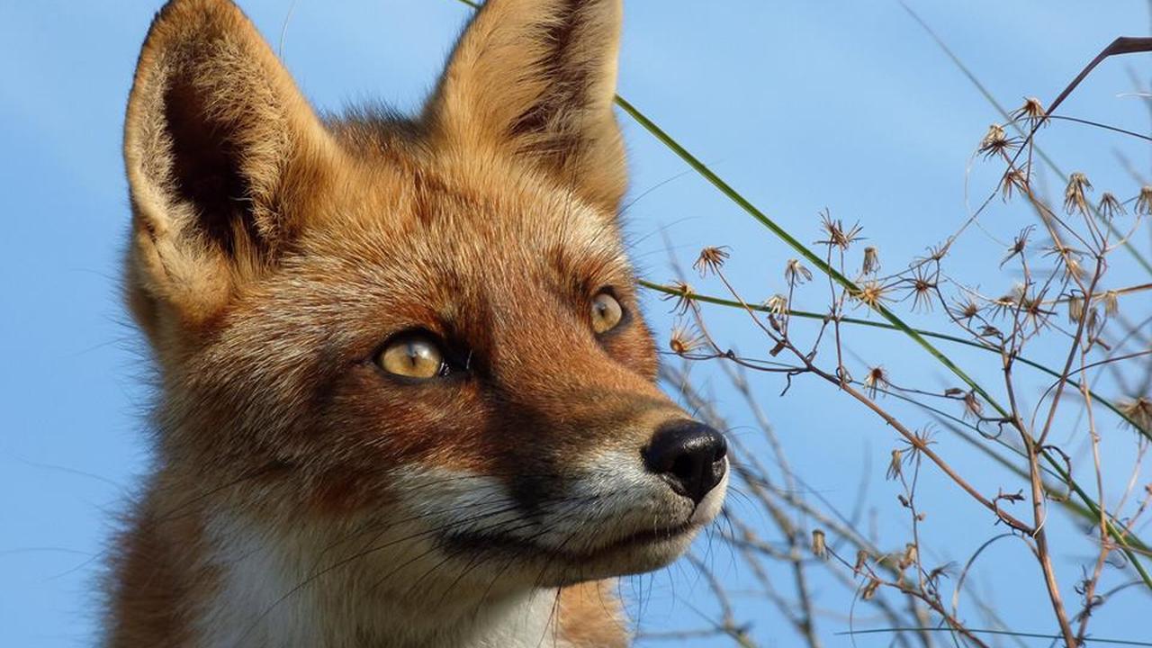 Verdwaalde vos gespot in het centrum