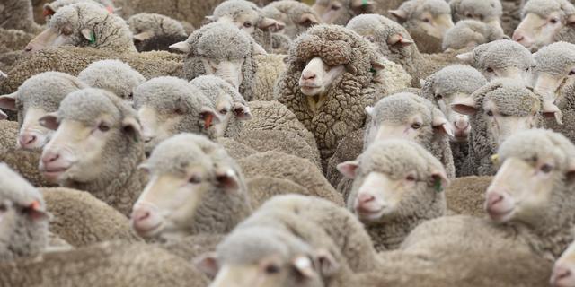 NVWA rolt illegale schapenslachterij op na extra handhaving rond Offerfeest