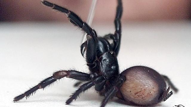 Jongen Australië overleeft dodelijke spinnenbeet dankzij 12 doses tegengif