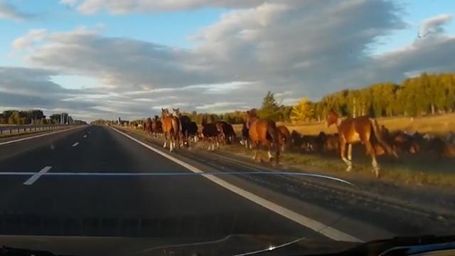 Kudde wilde paarden veroorzaakt aanrijding op snelweg in Rusland