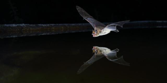 Resultaat Vleermuistuintelling: dwergvleermuis vaakst gezien in Nederland