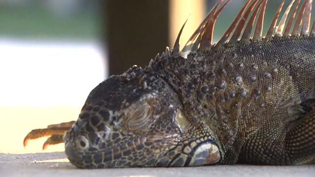 Kijken: Leguanen vallen uit de bomen in Amerika