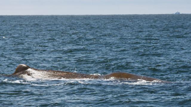 Verzwakte potvis zwemt al uren voor kust van Den Helder