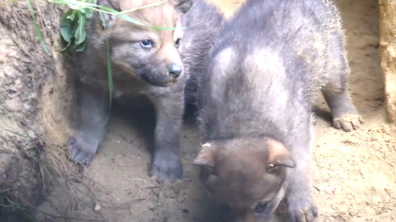 DierenPark Amersfoort verwelkomt vier wolvenwelpjes