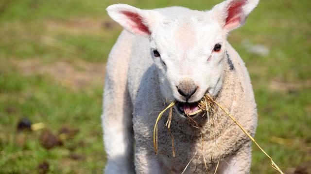 Felicitaties voor Baudet | Lammetjes op eerste lentedag