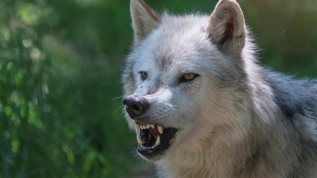 Mysterieuze wolf in Amerikaanse staat Montana stelt experts voor raadsel