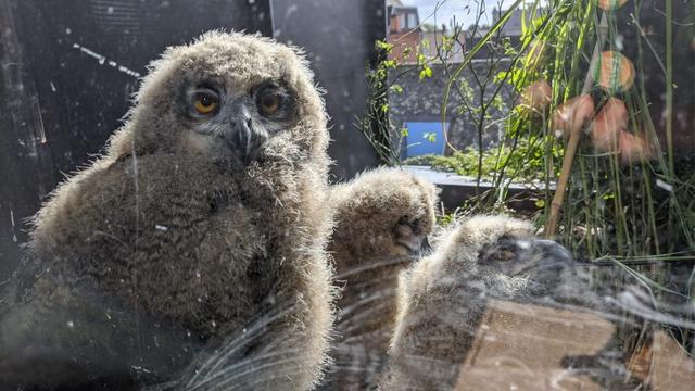 Oehoe in bloembak van Nederlander: drie kuikens bij het huiskamerraam