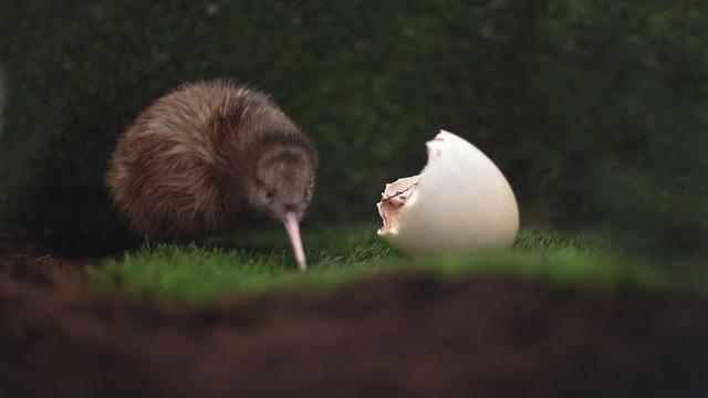 Voor het eerst zeldzame kiwi in Nederland geboren