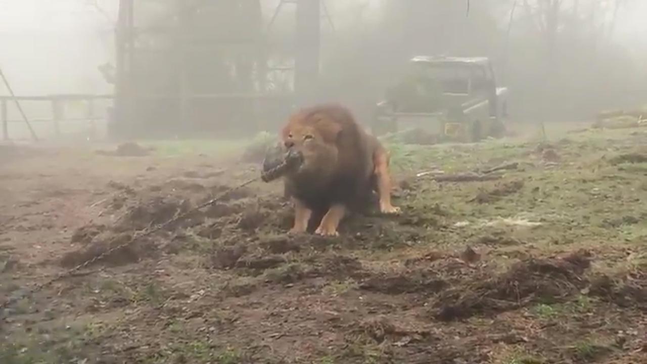 Bezoekers Britse dierentuin doen wedstrijd touwtrekken met leeuw