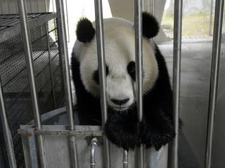 Wegen rond Wageningen dreigen dicht te slibben als panda's uit quarantaine komen