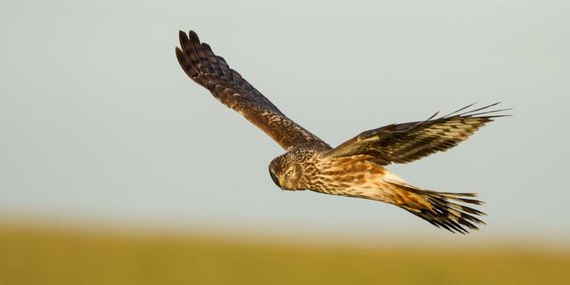 Onderzoekers somber over toekomst blauwe kiekendief: vogel bijna uitgestorven