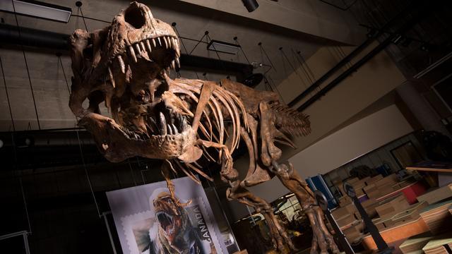 Allergrootste Tyrannosaurus rex ooit gevonden