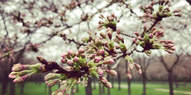 Honderden mensen bezoeken Bloesempark in Amsterdamse Bos