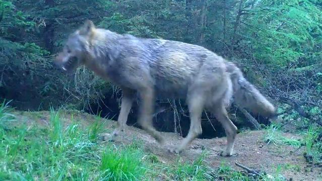 Staatsbosbeheer geeft beelden vrij van wolf in Drenthe