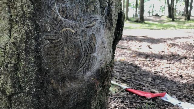 Veldhoven haalt plastic en plakstrips tegen processierups van bomen