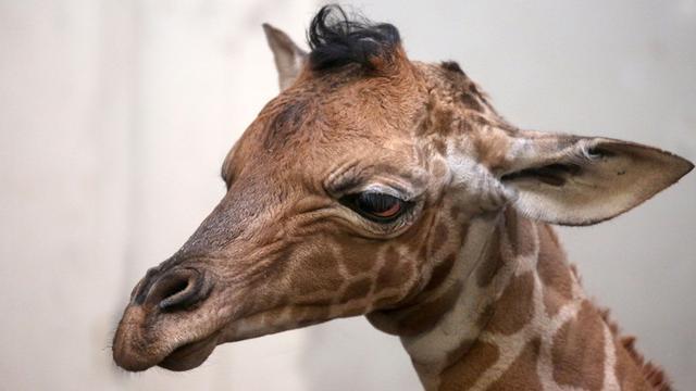 Giraffeveulen geboren in Artis
