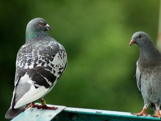 Twintigtal duiven gevangen en afgeschoten in september