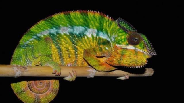 'Aantal soorten panterkameleons vertienvoudigd door nieuwe studie'