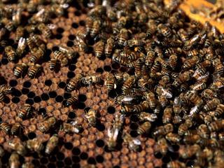 Afgelopen zes maanden werden vierhonderd bijenvolken en honingraten gestolen