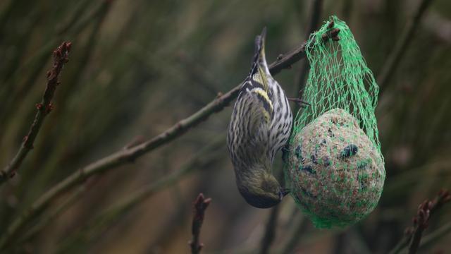 Huismus is meest getelde vogel in Groningen