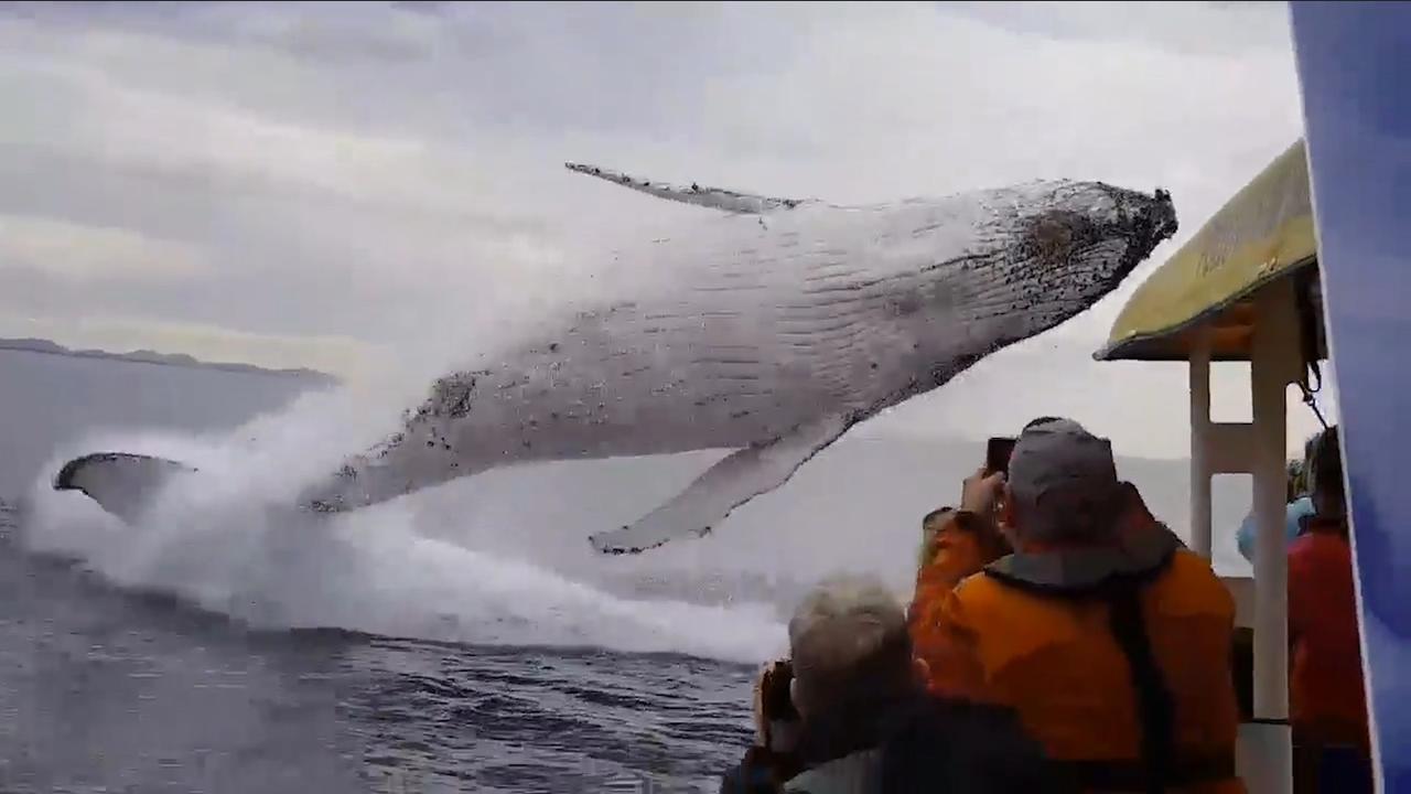 Bultrugwalvis maakt enorme sprong bij kust Australië