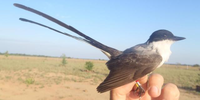 Zuid-Amerikaanse vogelsoort fladdert vleugels met een dialect