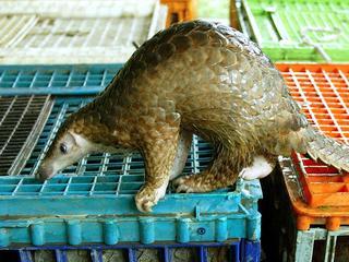 Ongeveer 1.400 schubdieren gedood voor lading schubben