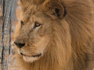 In totaal drie dode leeuwen gevonden
