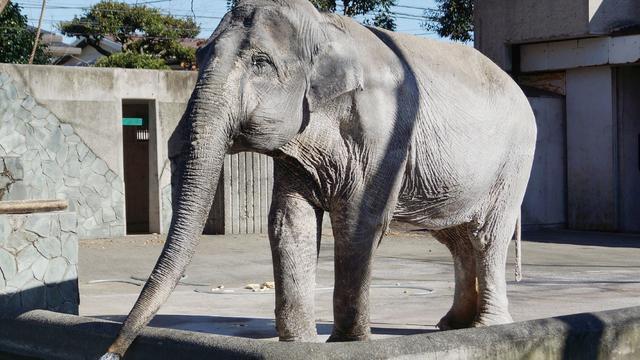 Oudste olifant van Japan (69) overleden