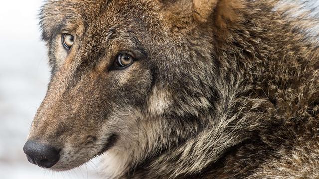 Wolfachtig dier bij Beuningen definitief echte wolf