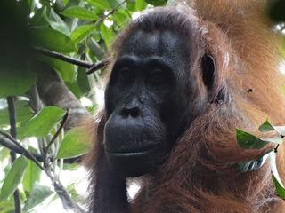 Gezondheid van orang-oetan Silvia ging al tijd achteruit