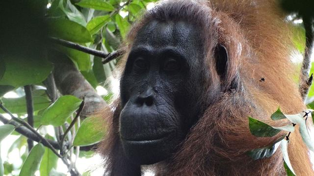 Eerste moord waargenomen bij orang-oetans