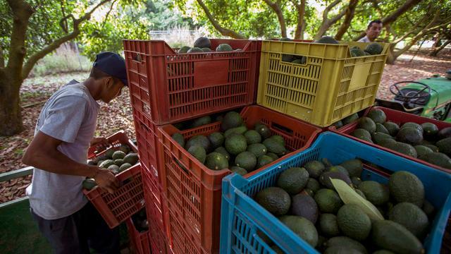 Populariteit avocado's zorgt voor roofgolf in Nieuw-Zeeland