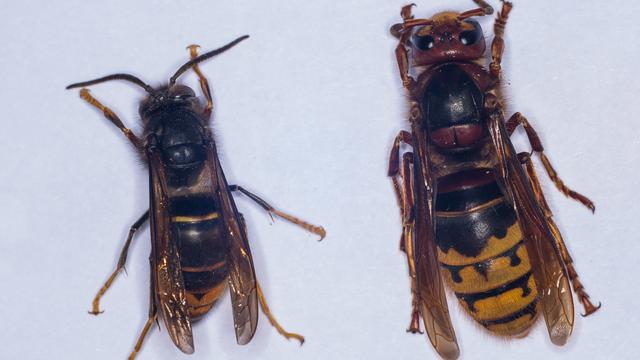 De Aziatische hoornaar (links) en de Europese hoornaar (rechts).